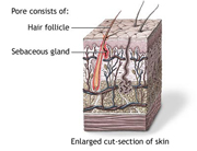 hair-follicle-sebaceous-gland